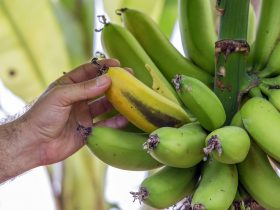 Банан — это фрукт или ягода