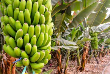 Как растут бананы в природе